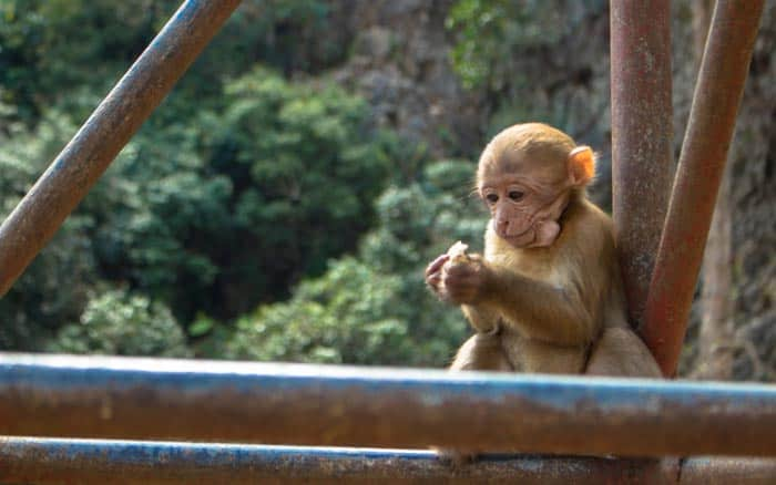 Chiang Rai things to do - Monkey